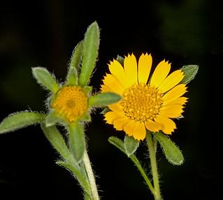 Yellow flower of Asteriscus teris, Mediterranean Daisy - IMG 4708