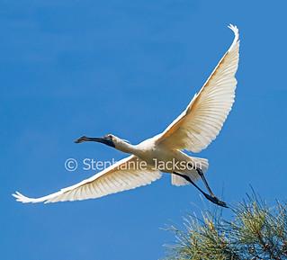 Australian Royal Spoonbill, Platalea regia, in flight - IMG 4514A