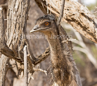 Close up of face of Australian emu in the wild - IMG 0788