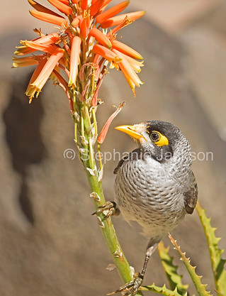 Noisy miner bird, Manorina melanocephala - IMG 6138