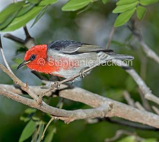 Scarlet honeyeater in an Australian garden - IMG 0788
