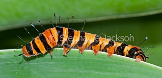 Caterpillar of Painted Vine Moth, Agarista agricola - IMG 5352