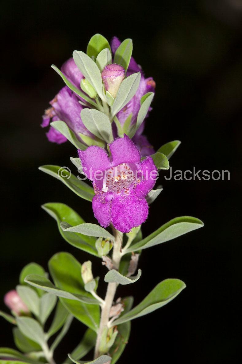 Prostanthera_ovalifolia_MG_3825.jpg
