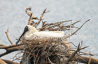 Australian Royal Spoonbill, Platalea regia on nest - IMG 3559A