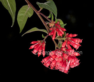 Red flowers of Cestrum elegans on black background - IMG 7092