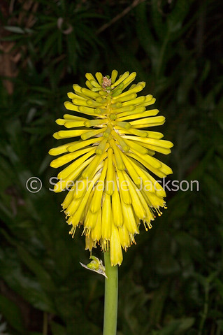 Yellow flower of Kniphofia 'Lime Light', Red Hot Poker - IMG 6713