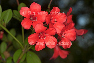 Red flowers of Rhododendron lochiae - IMG 4681