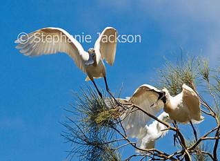 Australian Royal Spoonbills, Platalea regia, in flight - IMG 4678