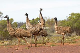 Flock of emus in outback NSW Australia - IMG 0633