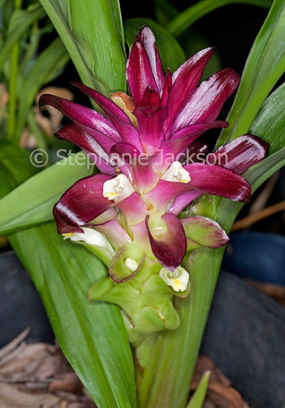 Flower of Curcuma 'Voodoo Magic', ornamental ginger - IMG 4720