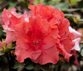 Salmon pink flowers of Azalea indica 'Coral Wings' - IMG 6055