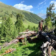 Tamangur - Alp Champatsch (GR)