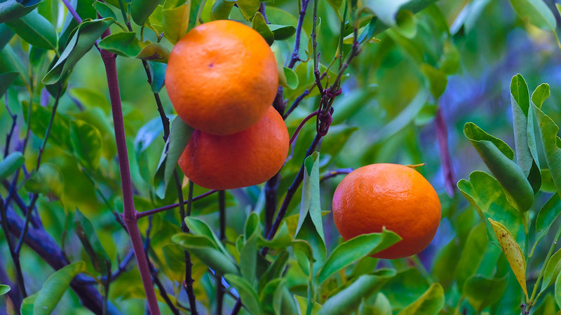 High definition close up oranges growing from a orange plant up close, with very bright colours and lush greenery