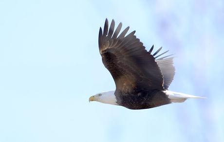 bald eagle SMS.jpeg