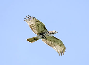 SMS red-tailed hawk.jpeg