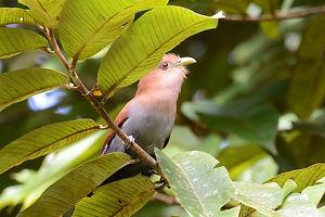Squirrel cuckoo, ss.JPG