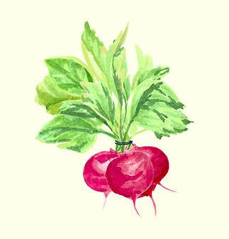 Food_Illustration_radishes_Kim_Timmerman