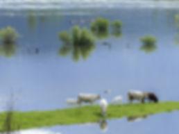 cows-358959_960_720.jpg