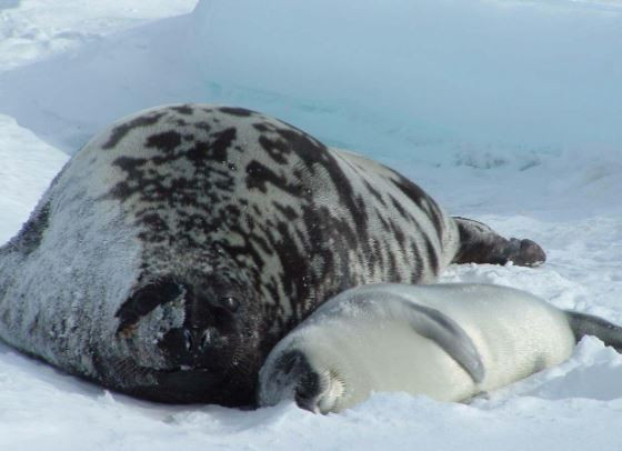 hooded seal pup breastfeeding nursing platypus media attachment parenting new mothers