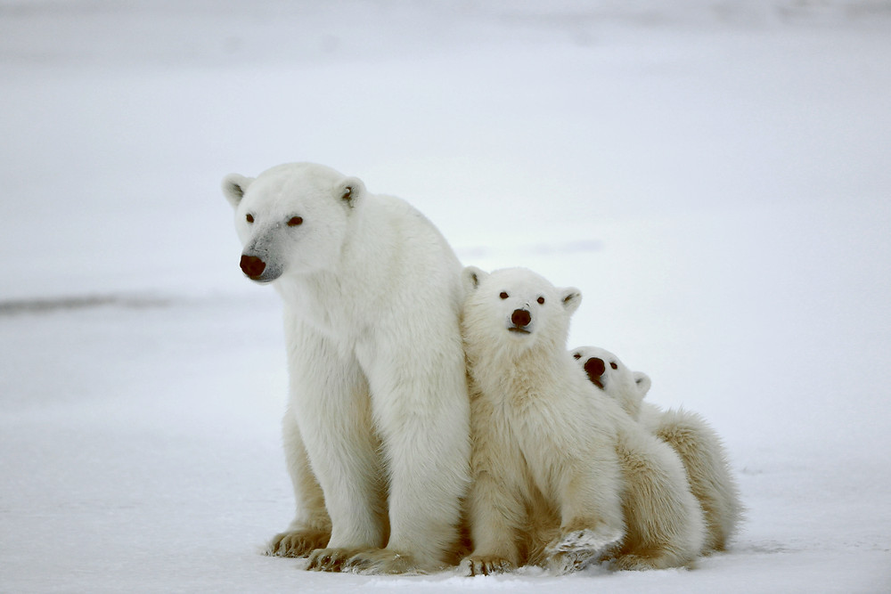 international polar bear day science naturally mammals facts STEM science