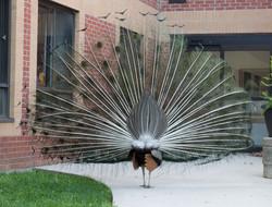 Peacock-DSC_0809