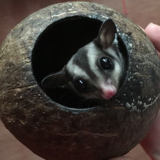 Baby Sugar Glider _ The ARC Centre_edite