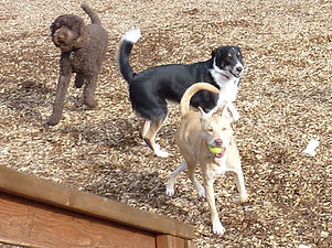 A Standard Poode and Collie mix chasing yellow lab that has tennis ball in his mouth.