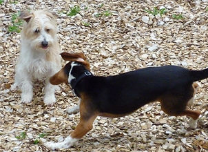 A small scruffy terrier playing with a fun-loving Beagle.