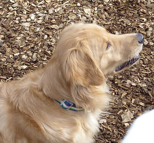 A Golden Retriever in the cedar chipped yard.