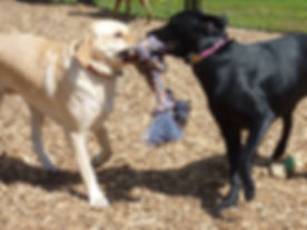 A black lab and a yellow lab playing tug-o-war witha giant rope.