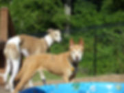 A Whippet and friend waiting turns for a dip in the kiddie pool.
