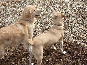 A Golden Retriever and a Yellow lab having a nice conversation.