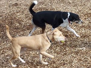 A Yellow lab with a ball in his mouth trotting next to a collie mix.