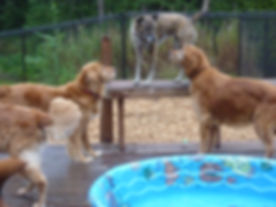 Three Golden Retrievers conversing with a Catahoula Leopard Dog.