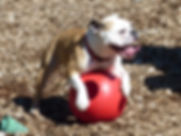 An English Bulldog playing with a large red ball.