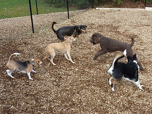 A couple of Beagles, a Yellow Labrador, a Poodle and a Shepherd mix playing in cedar chipped yard.