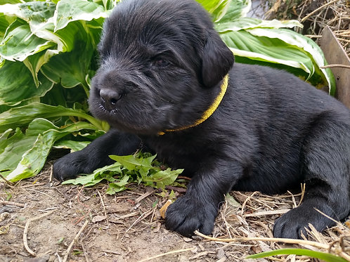 Black female yellow collar pending sale