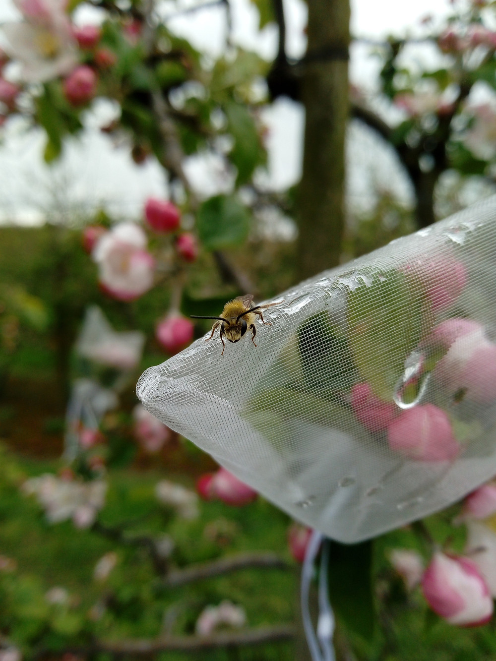 Solitary bee in an apple orchard in Ireland. Male solitary bees do not live in nests and spend the majority of their lives actively searching for females to mate with, so you can often find them slowly warming up on flowers or leaves on chilly mornings. This bee is using one of my pollination experiments as his morning perch. Photo Credit: Katherine Burns