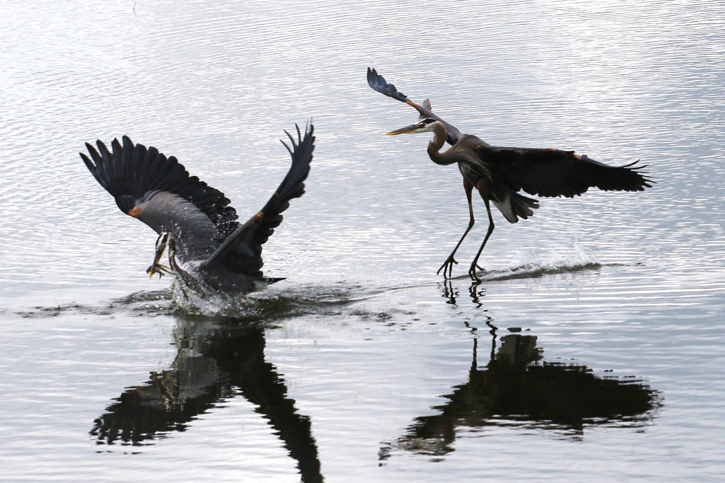 2 herons fishing by Cal Grimmer