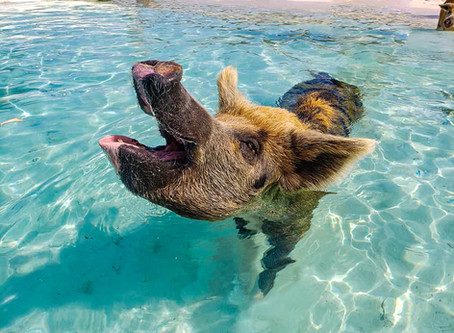 The Ultimate Exuma Excursion- Swimming with the Pigs, Swim with the Sharks, and much more!