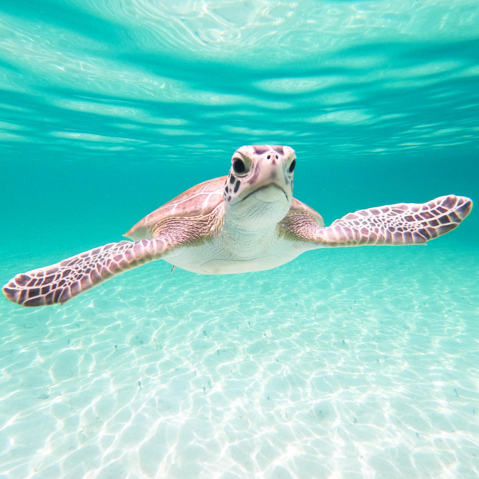 Swimming with turtles, Eleuthera Bahamas
