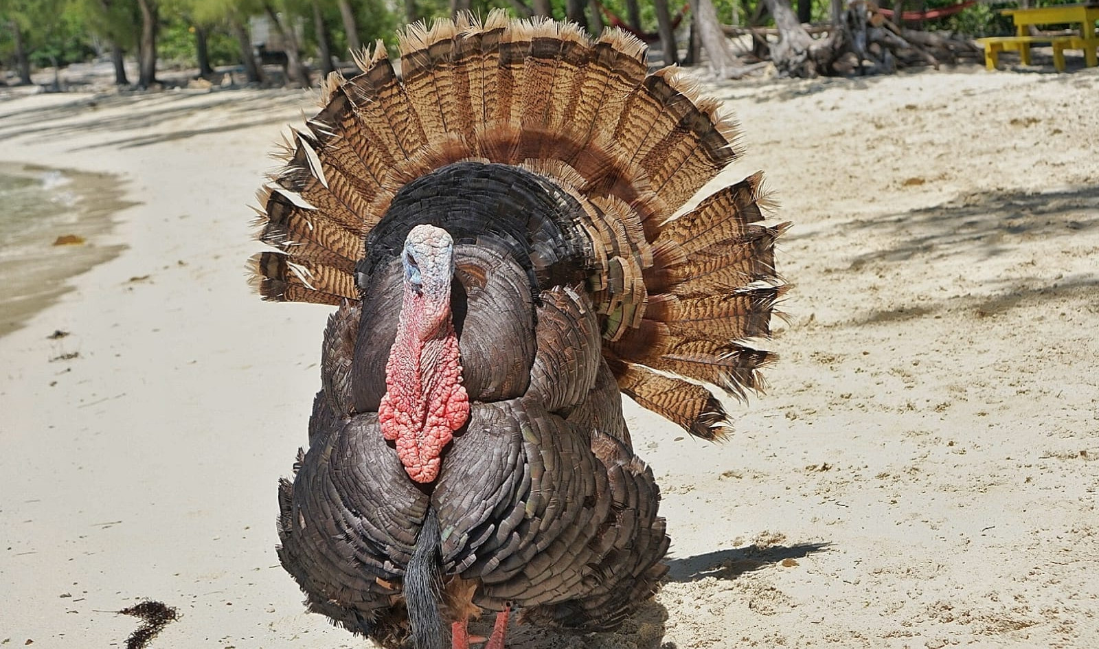 Spanish Wells Turkey