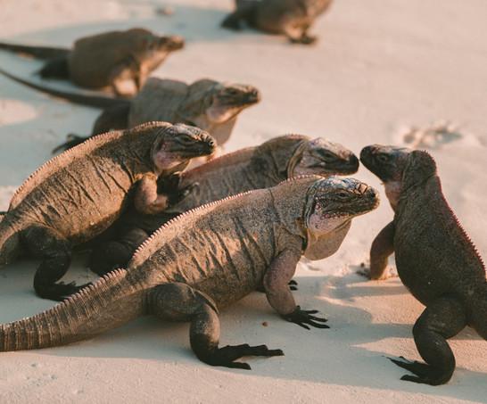 Iguanas, Bahamas