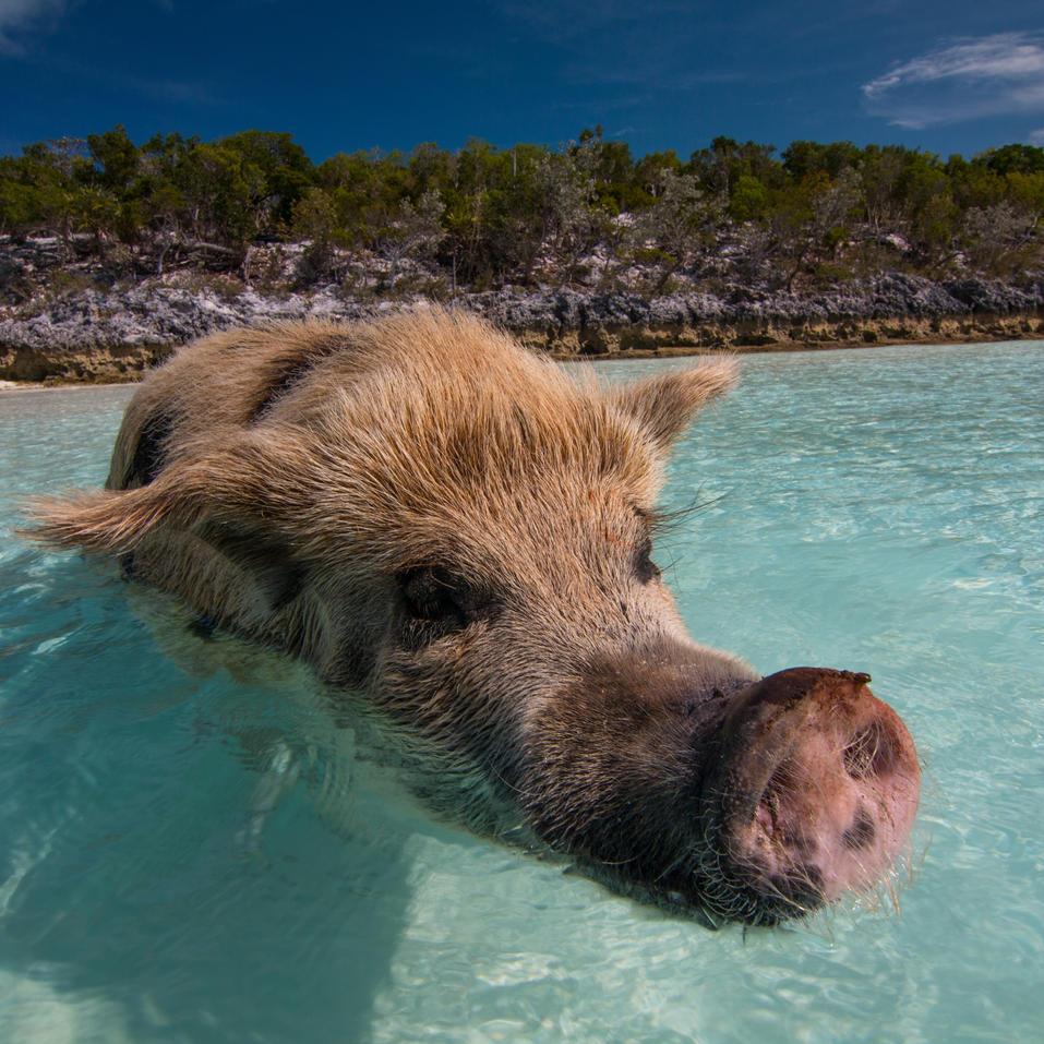 Swimming Pigs, Exuma, Bahamas