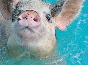 pig baby2.jpg