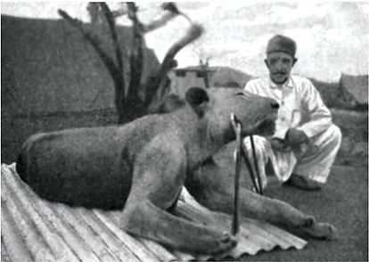 The second lion of Tsavo.jpg