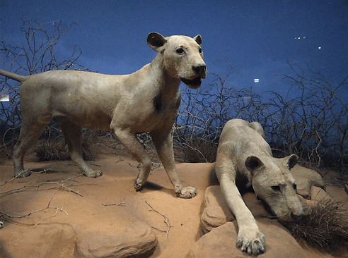 Lions of Tsavo 2.png