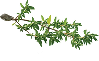 46-466399_thyme-leaf-thyme-transparent-png.png