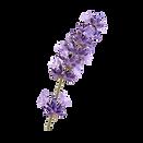 english-lavender-french-lavender-flower-