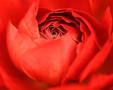 VcHjHlBA-rose.jpg